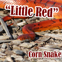 Blood_Red_Corn