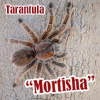 Mortisha