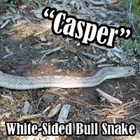 White_Sided_Bull_Snake