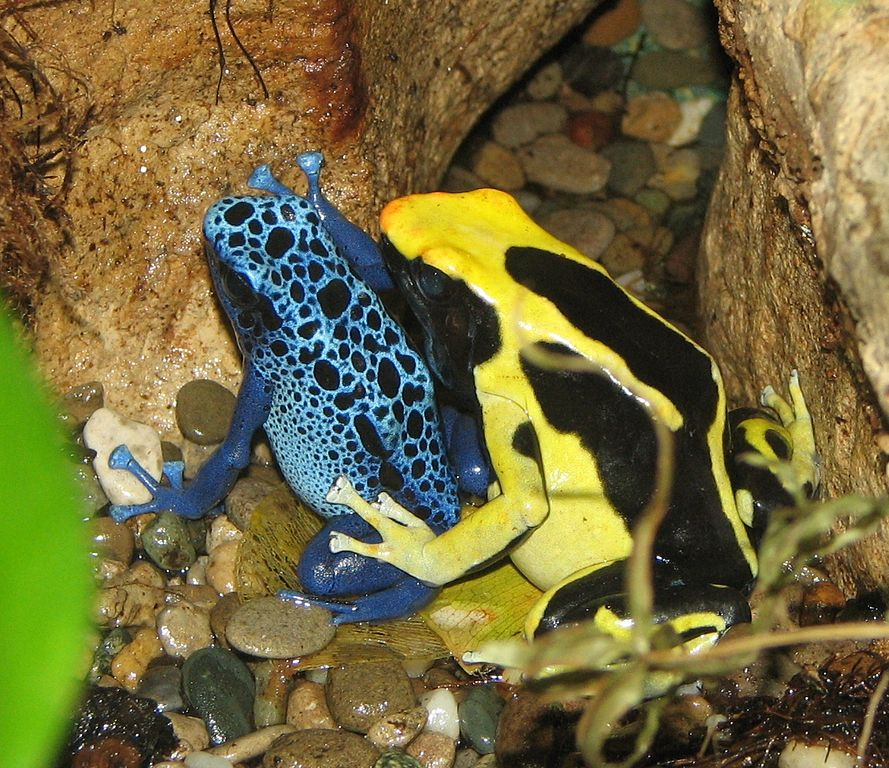 px Poison Dart Frogs