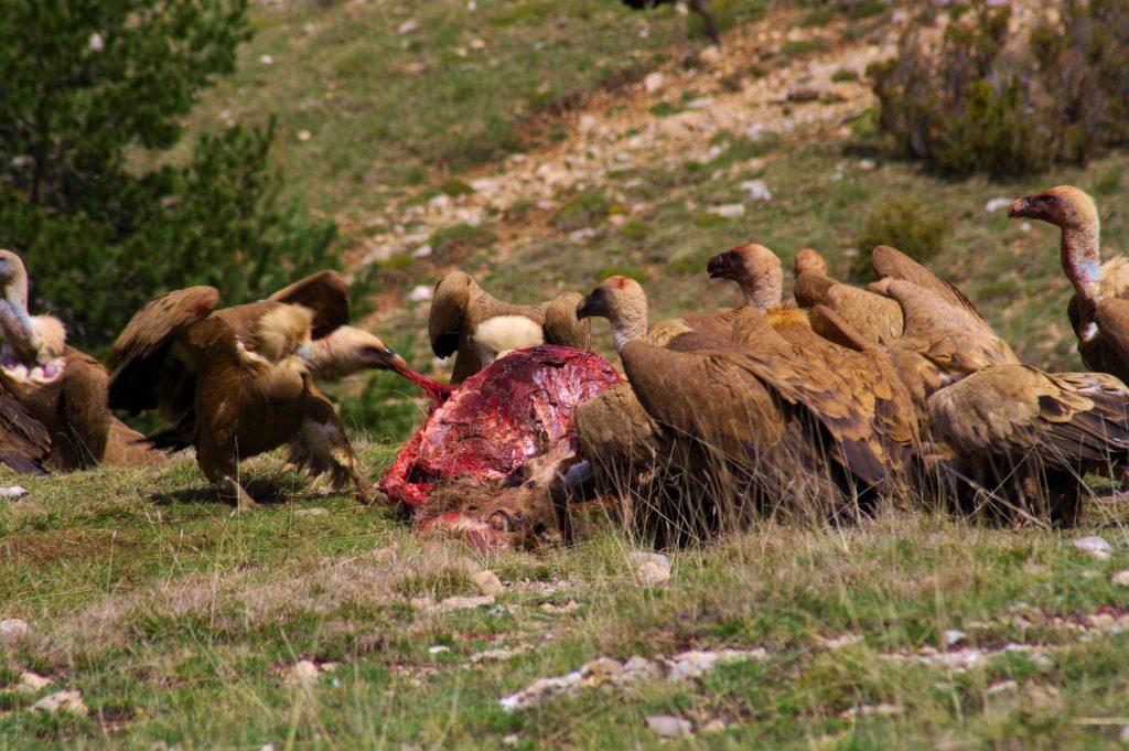 Buitres leonados (Gyps fulvus)