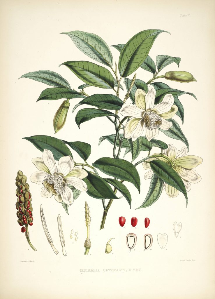 Alcimandra cathcartii from Hooker Illustrations of Himalayan Plants
