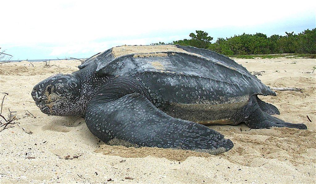 Leatherback sea turtle Tinglar, USVI ()