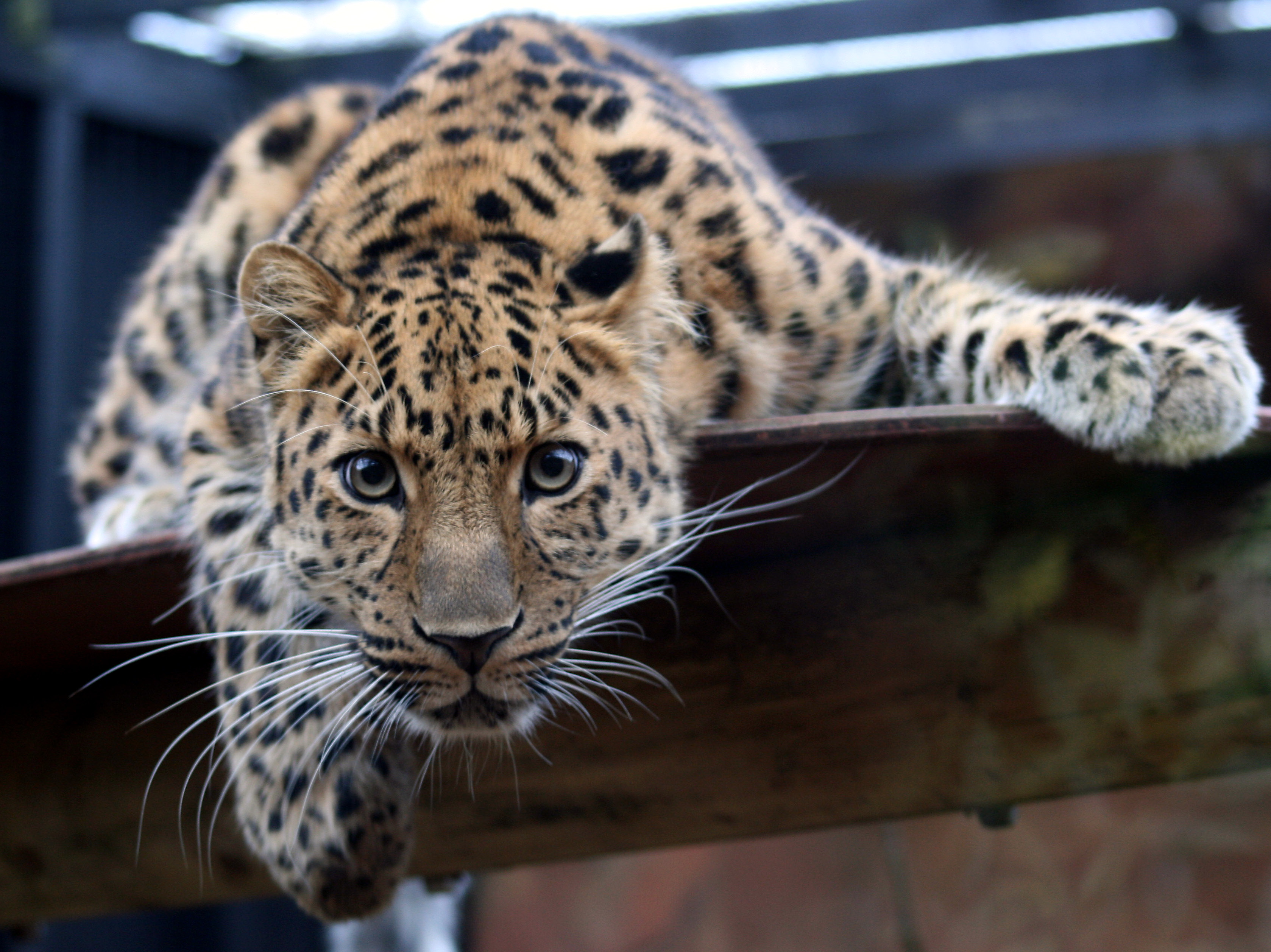 Leopard in the Colchester Zoo