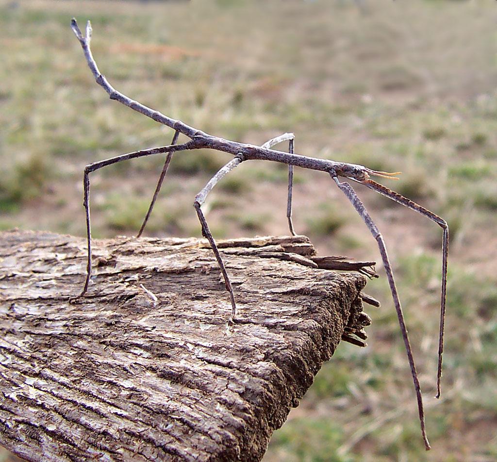 Ctenomorpha chronus