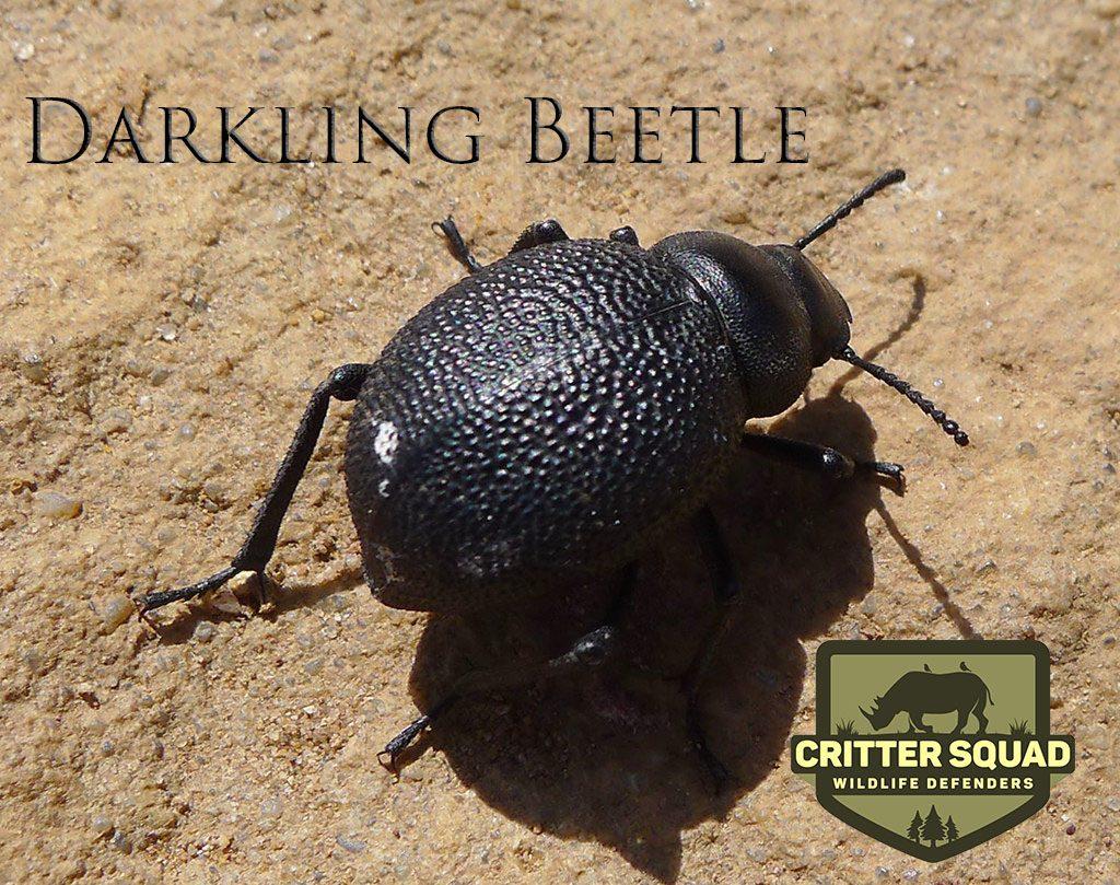DarklingBeetle