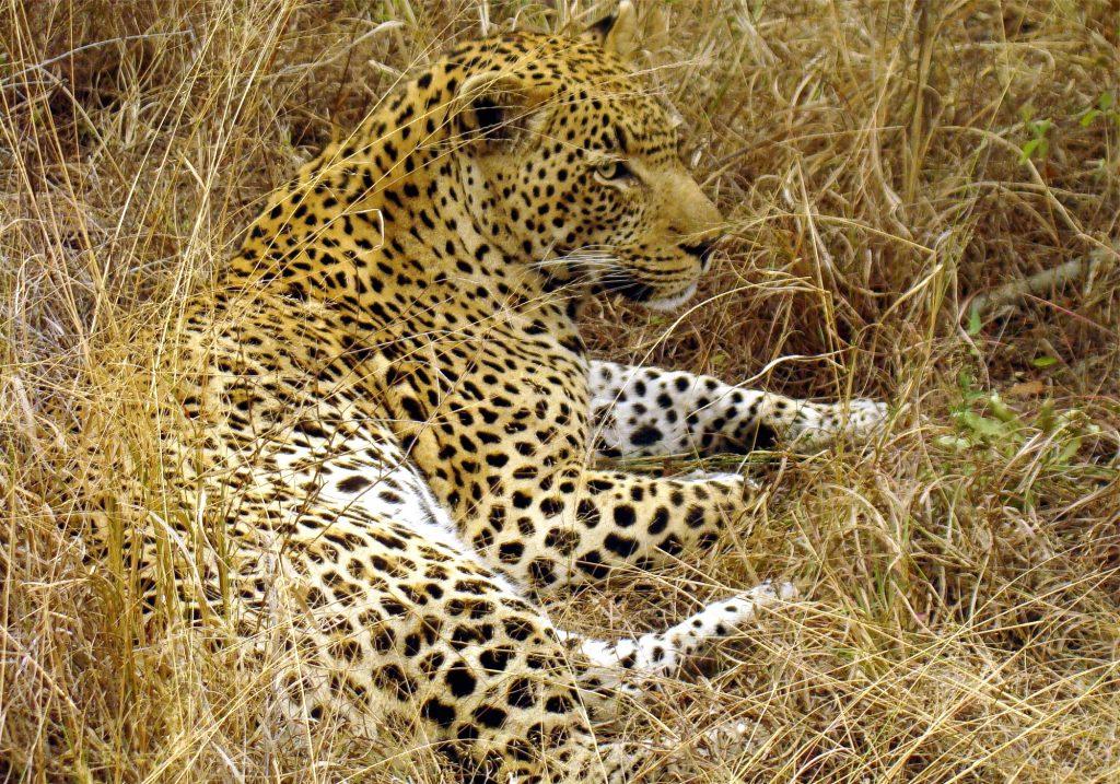 Great male Leopard in South Afrika JD