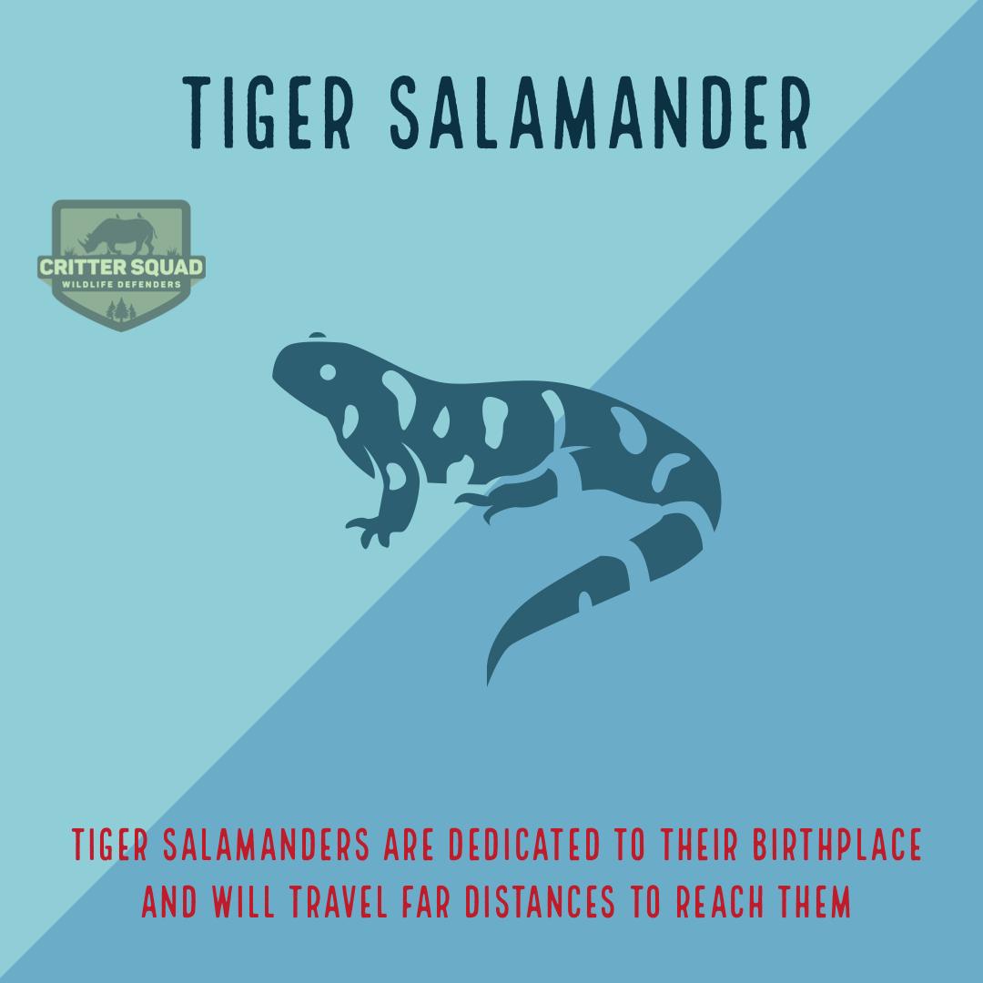 Barred tiger salamander - Wikipedia   1080x1080