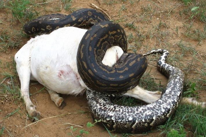Snakes Venom Vs Constriction C S W D