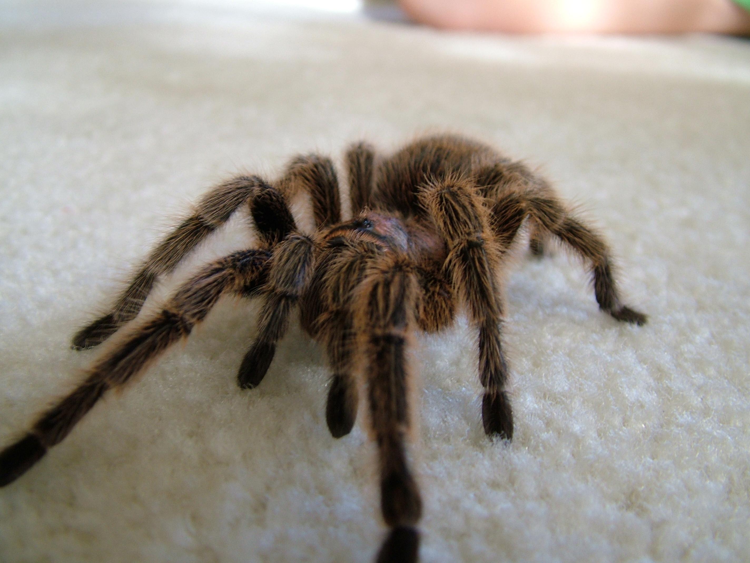 Chilean Rose Hair Tarantula Fact Sheet Critter Squad Wildlife