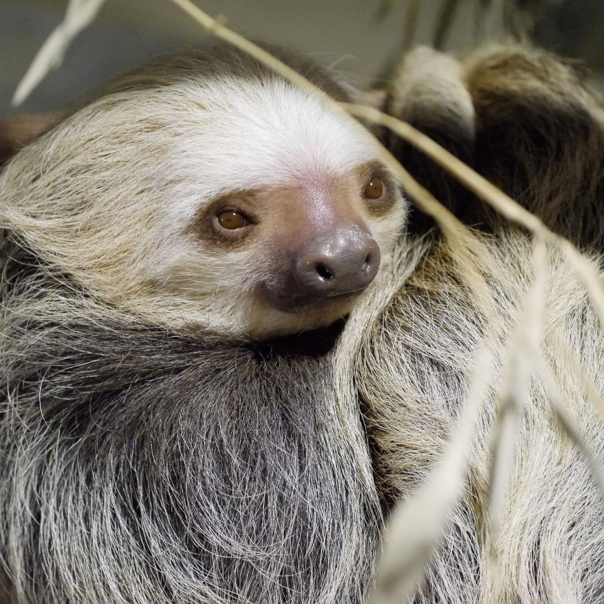 Two Toed Sloth Fact Sheet C S W D