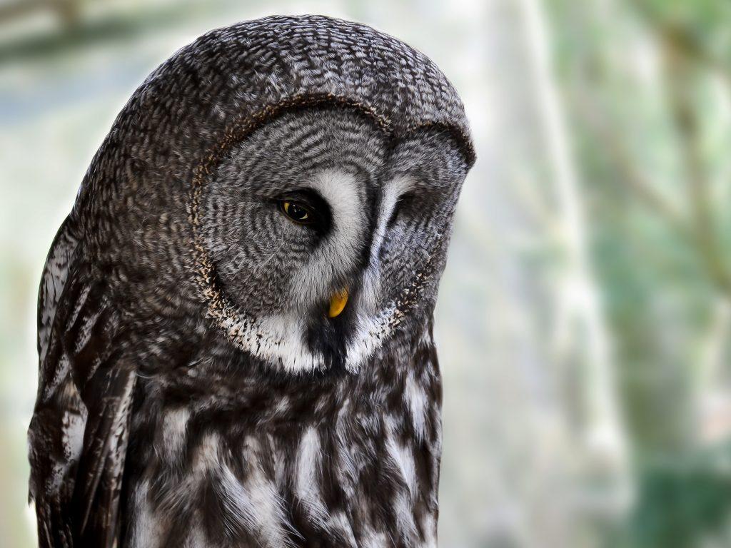 Great Grey Owl Quiz - C.S.W.D