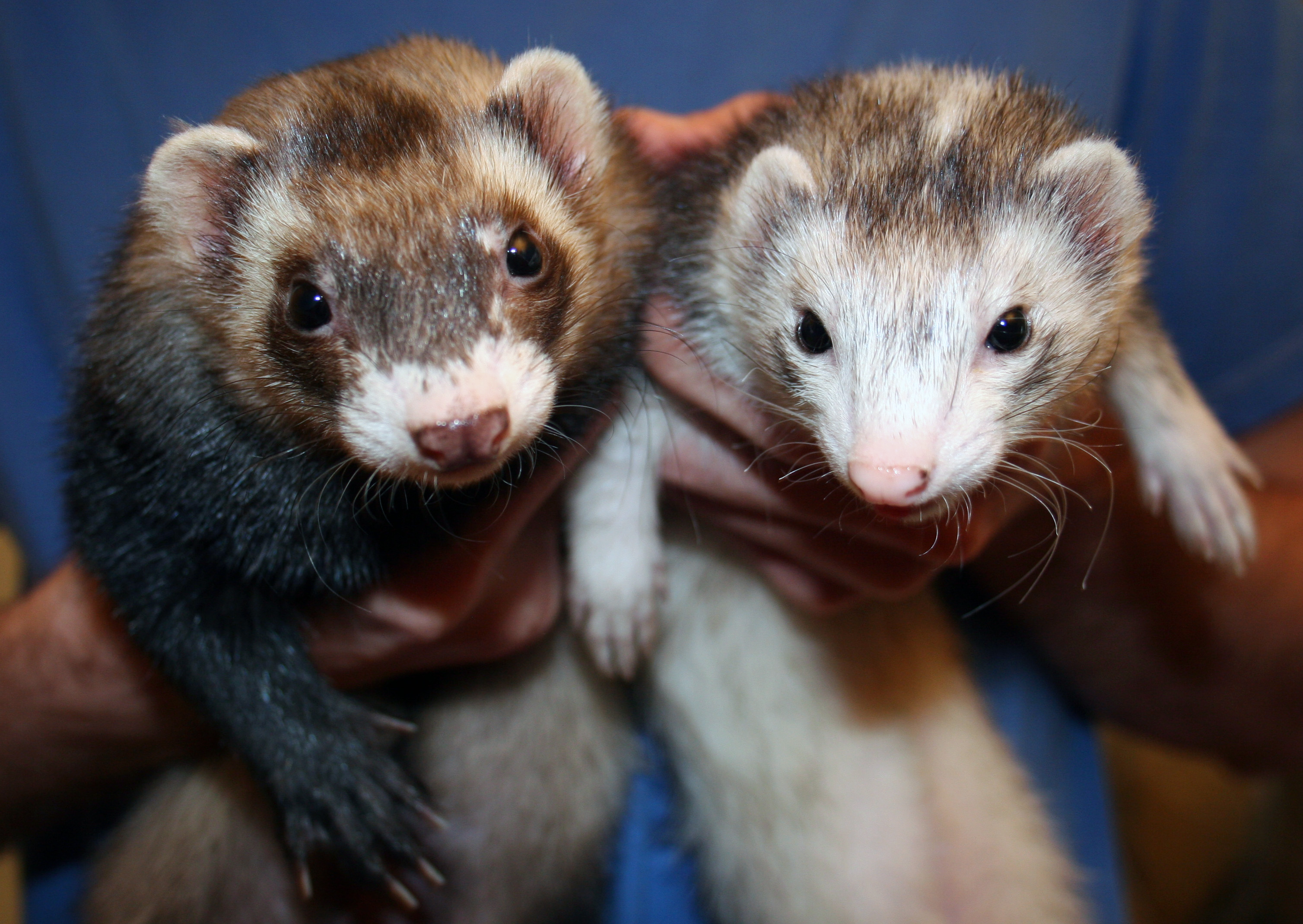 Ferret - Critter Squad Wildlife Defenders | Petting Zoo Party