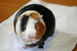guinea pig amanda from the front animals fffee