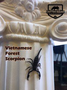 vietnamese scorpion