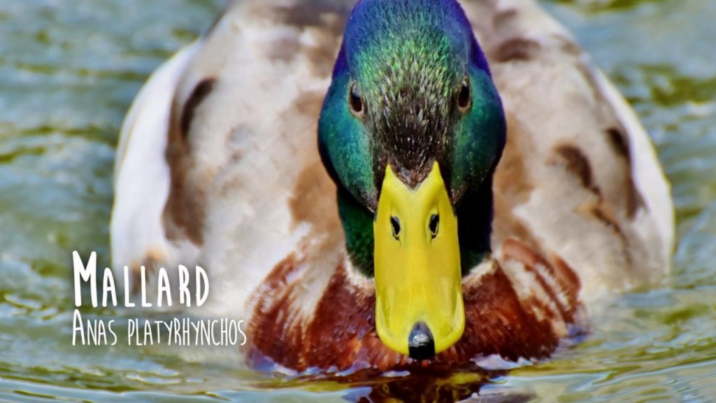 Are Ducks And Mallards The Same