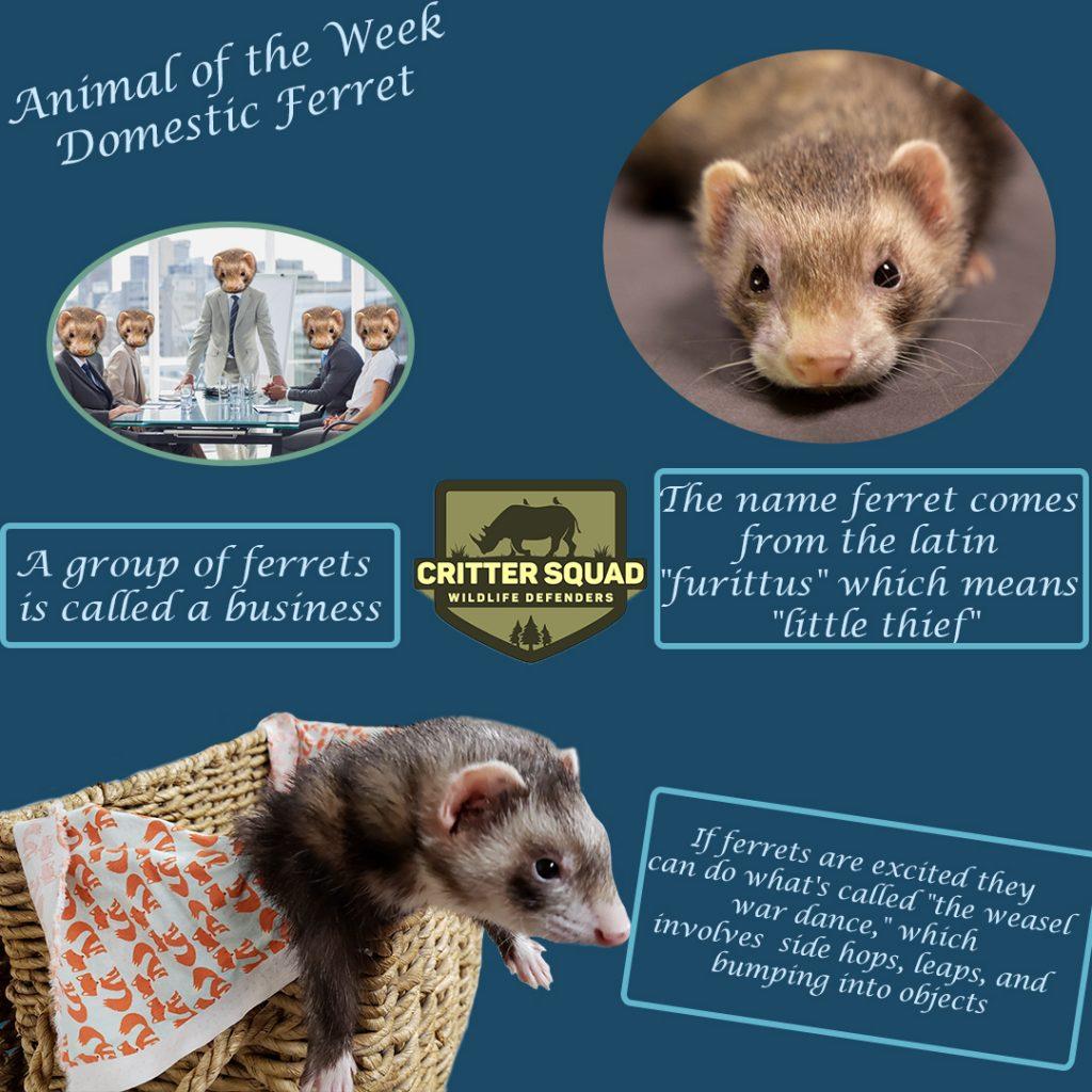 animal of the week domestic ferret insta
