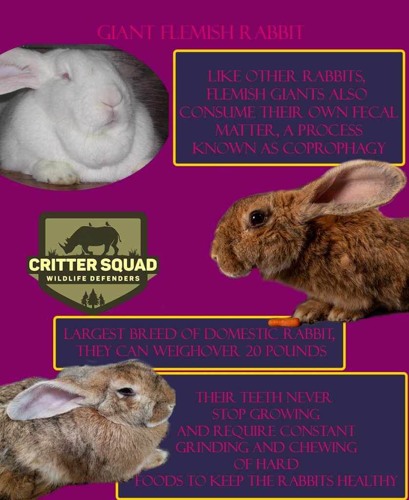 animal of the week giant flemish rabbit