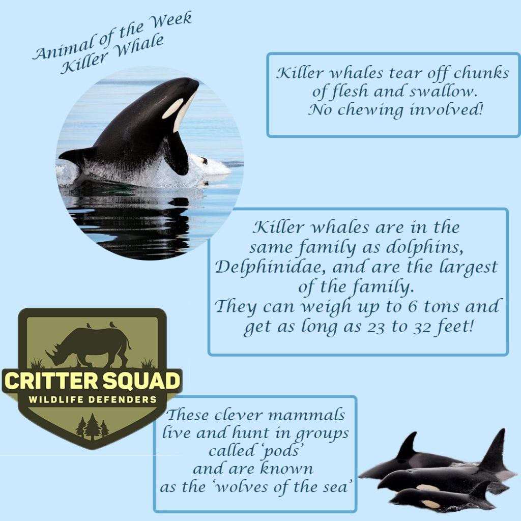 animal of the week killer whale insta