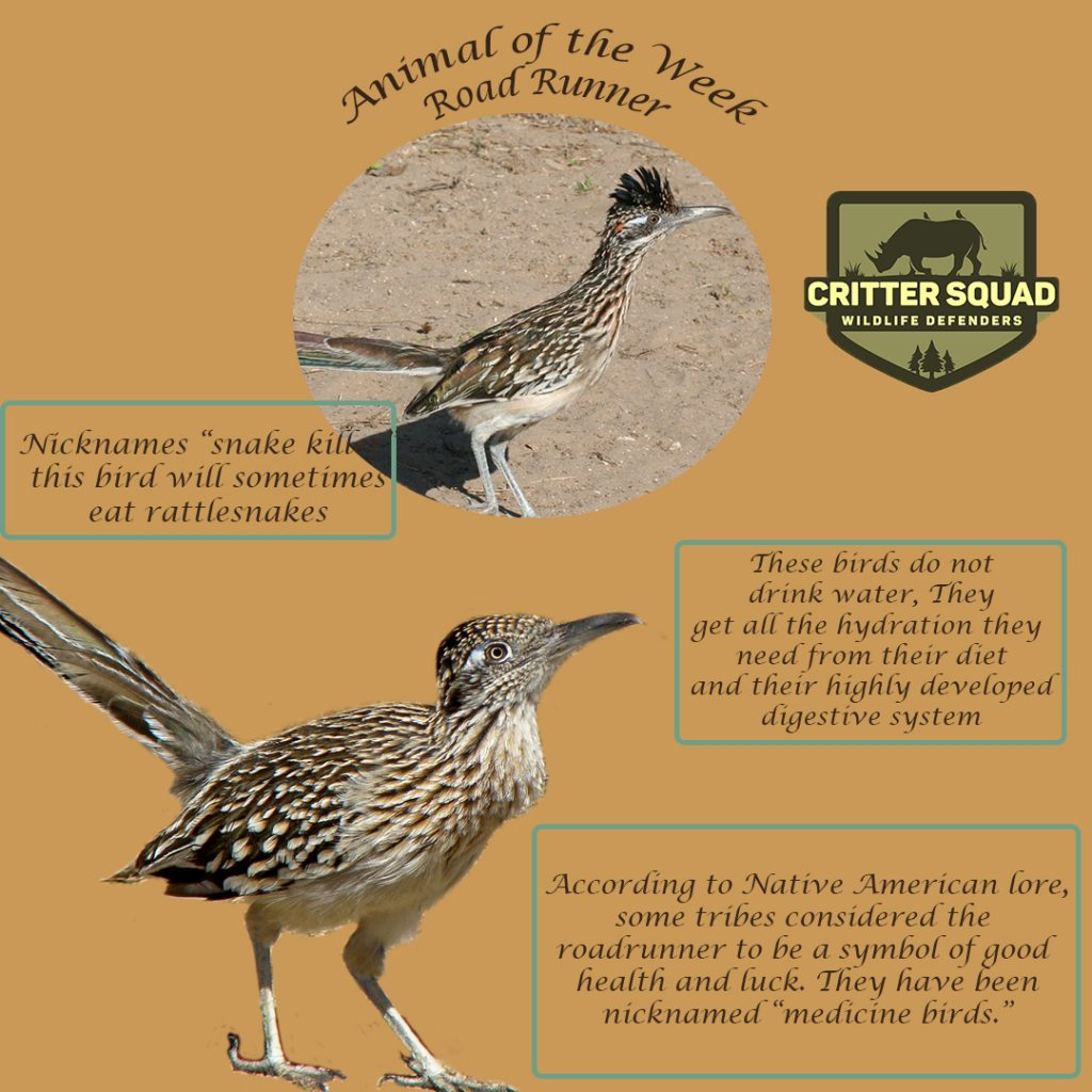 animal of the week road runner insta
