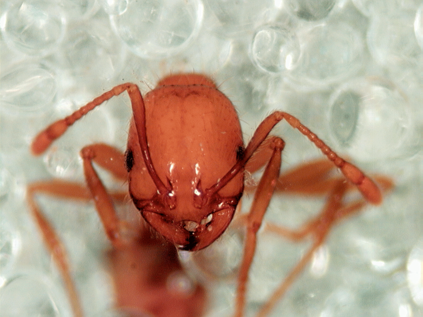 CSIRO ScienceImage  Tropical fire ant