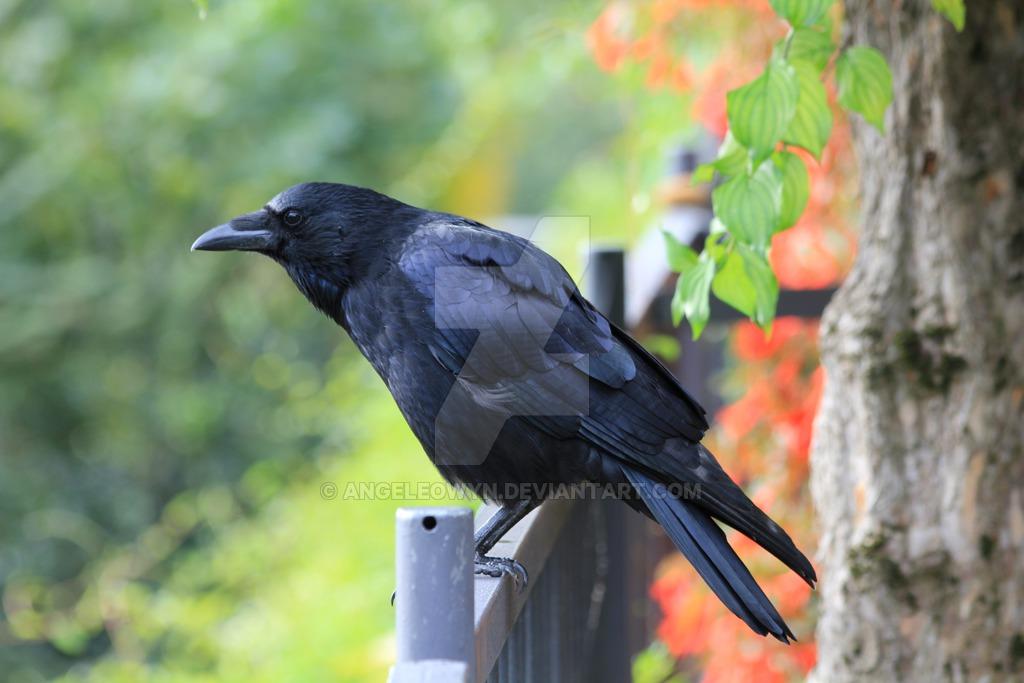 common raven  by angeleowyn dcbd