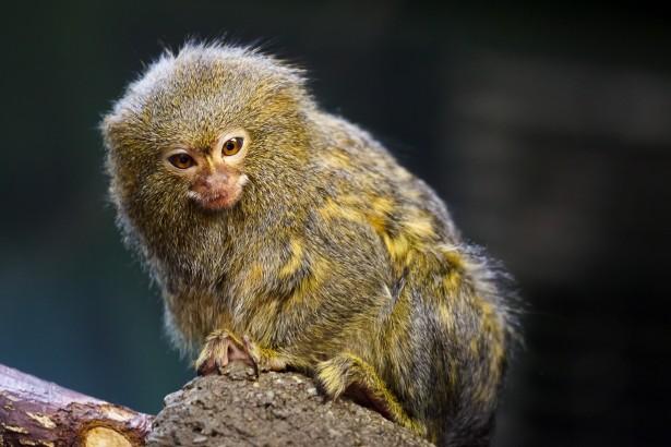 pygmy marmoset tgM