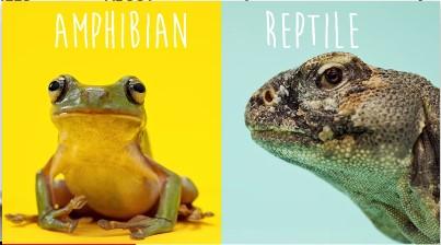 reptile vs amphibian